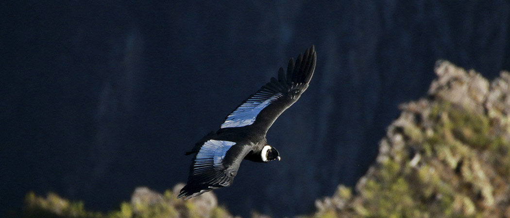 Andean Condor flying in Peru
