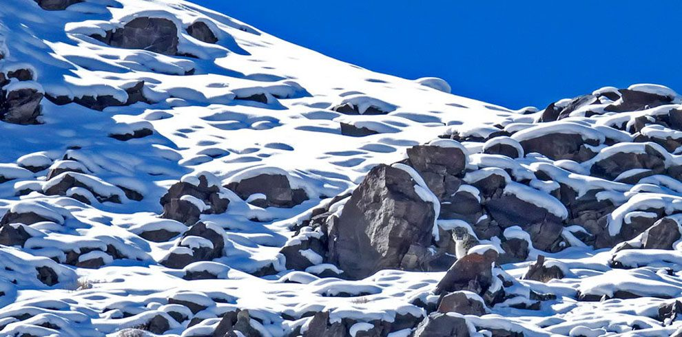 Th elusive Snow Leopard in the typical habitat.