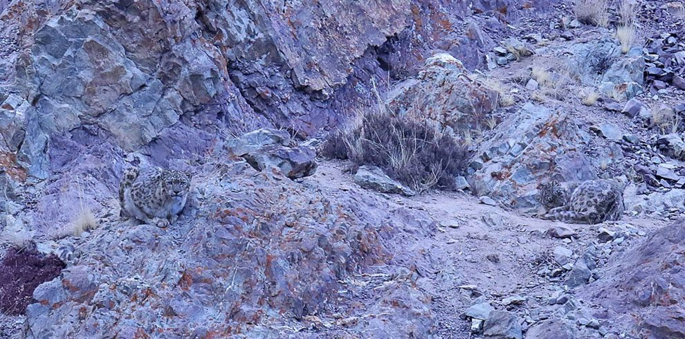 A pair of Snow Leopards from Hemis National Park.