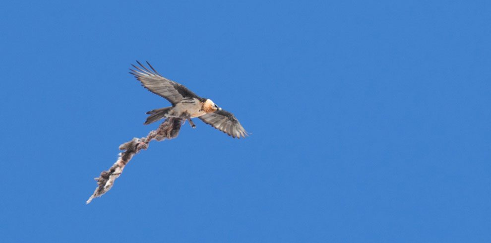 Bearded Vulture in flight with a kill.
