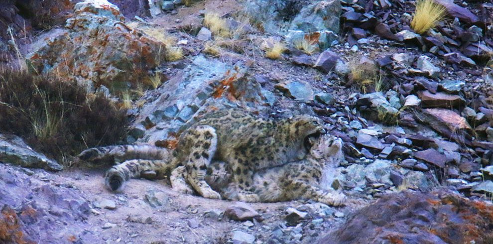A pair of Snow Leopards mating in Hemis National Park.