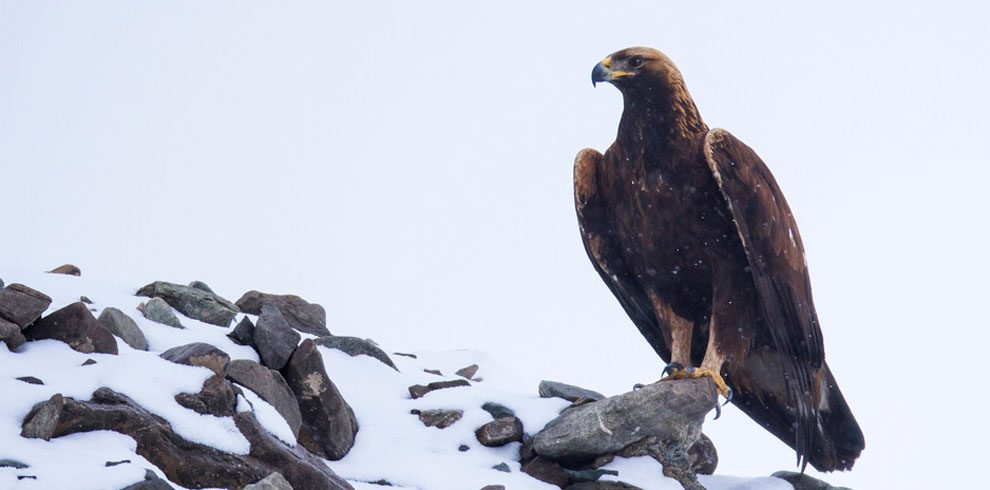 The magestic Golden Eagle from Hemis National Park.