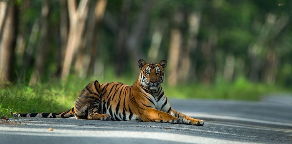 The majestic Royal Bengal Tiger photographed on safari.