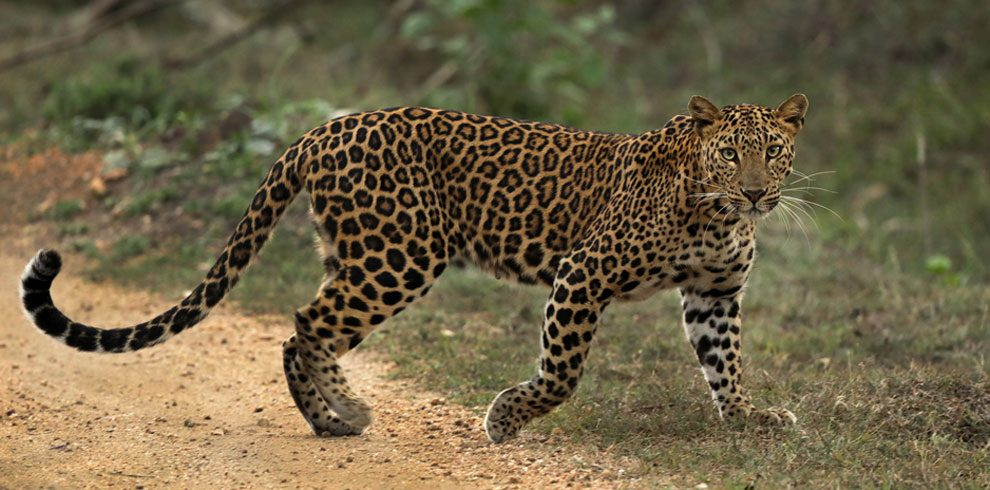 Indian Leopard on prowl.