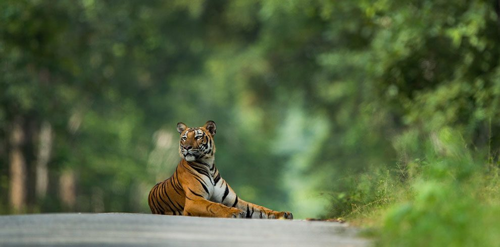 A Royal Bengal Tiger photographed in Kabini.