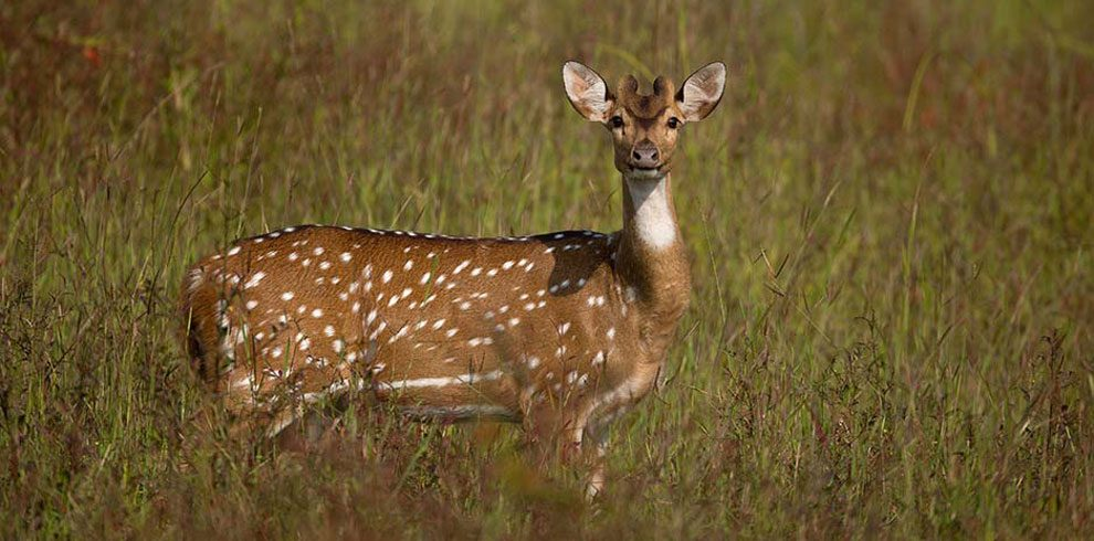 A portrait of a Spotted Deer.