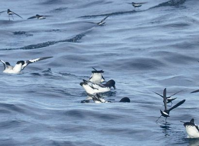 Albatross Birding and Nature Tours in Chile