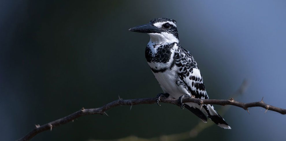 Portrait of a Pied Kingfisher.