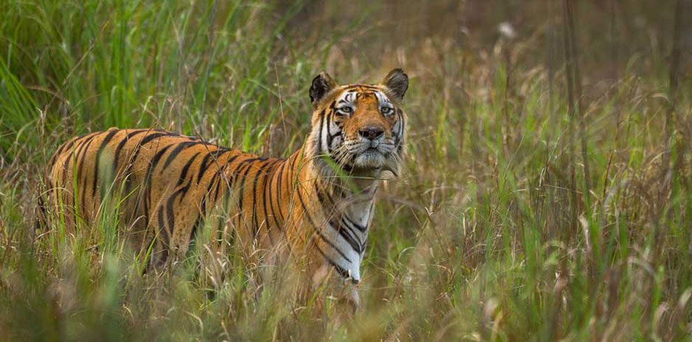 A Royal Bengal Tiger photographed at Kanha.