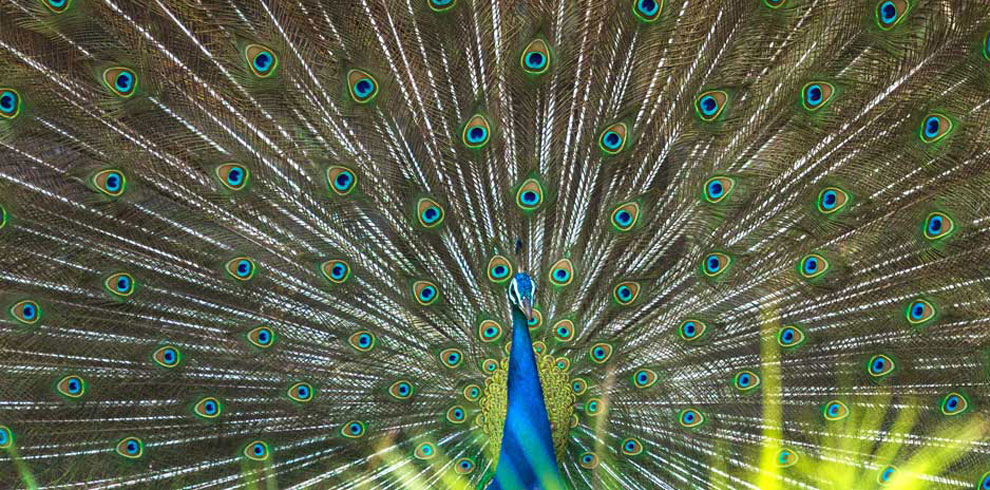 The magnificent Indian Peafowl showcasing it's beauty.