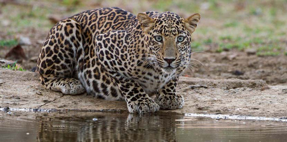 Indian Leopard photographed at a waterhole.