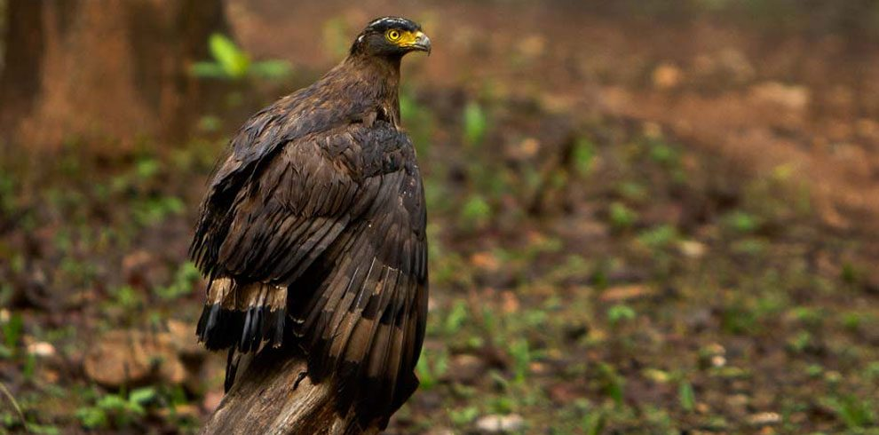 A photograph of the Crested Serpent Eagle.