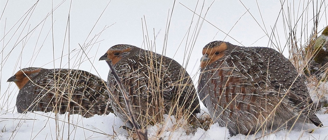 Partridges on the snow