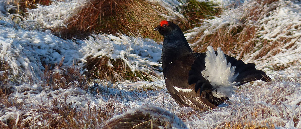 Black Grouse in Winter
