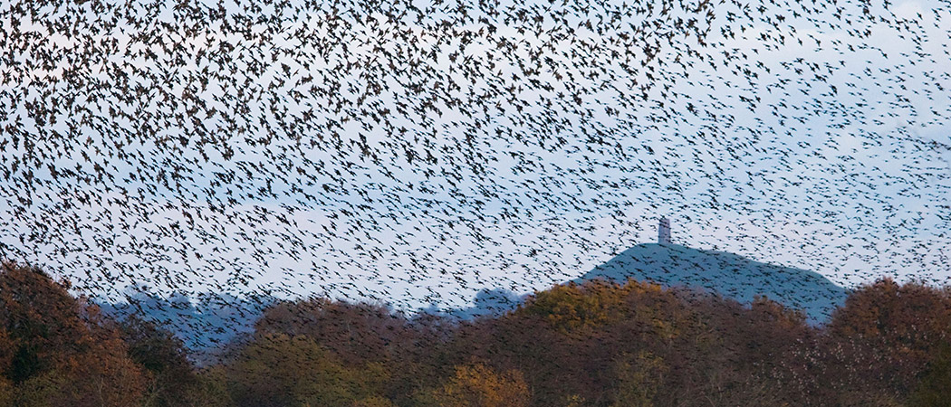 Starling Murmuration in Somerset