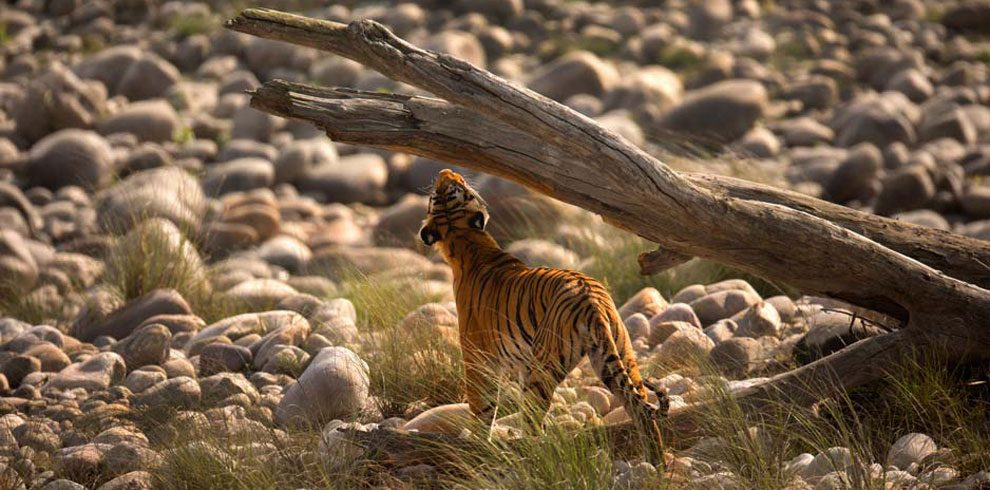 A Royal Bengal Tiger photographed in a typical COrbett habitat.