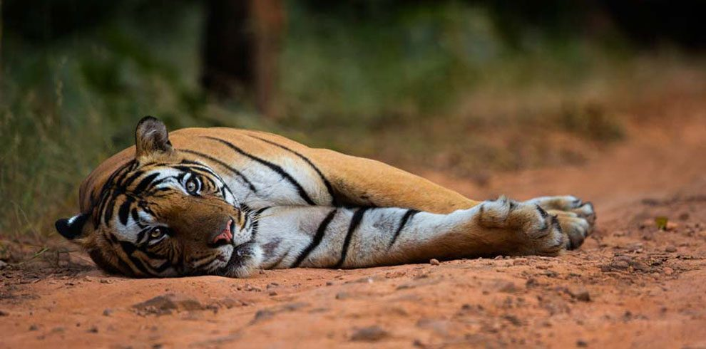 A rather lazy Royal Bengal Tiger photographed on the safari track.