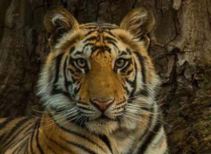 tiger safaris india