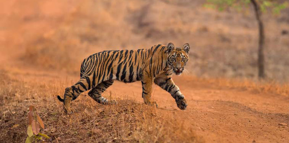 A Royal Bengal Tiger photographed in Tadoba.