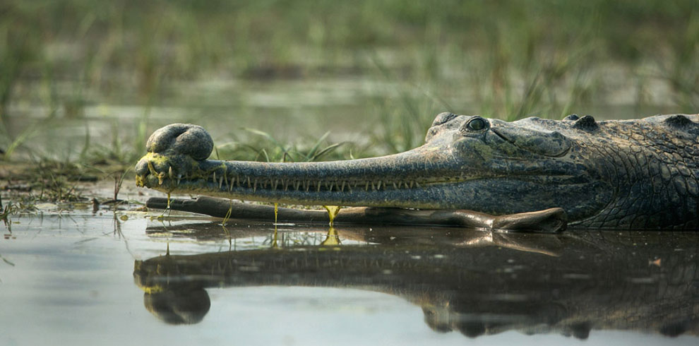 A Gharial photographed at Chambal.