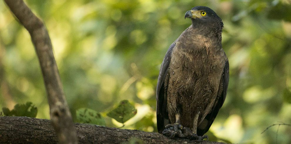 A Crested-serpent Eagle from Kabini.
