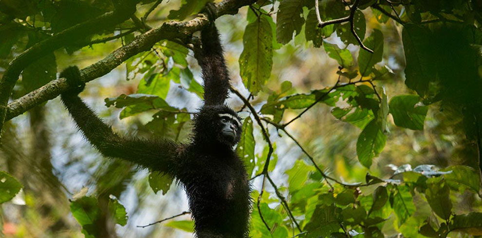A Western Hoolock Gibbon photographed amid dense forest canopies.