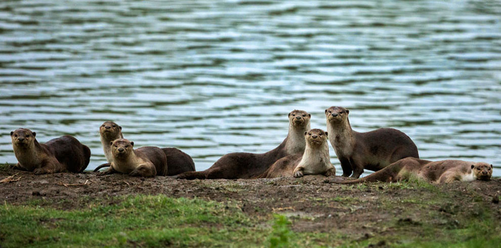 Smooth Coated Otters photographed at Kaziranga.