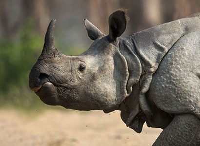 one horned rhino in india