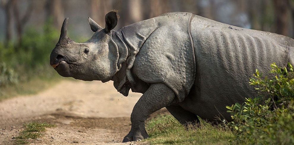 The endangered One-horned Rhino.