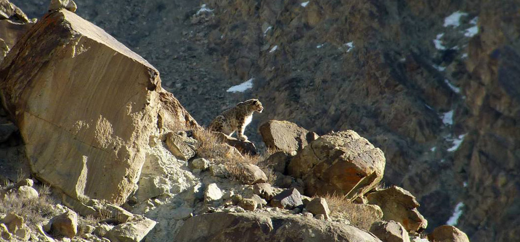 Snow Leopard tour from Ladakh