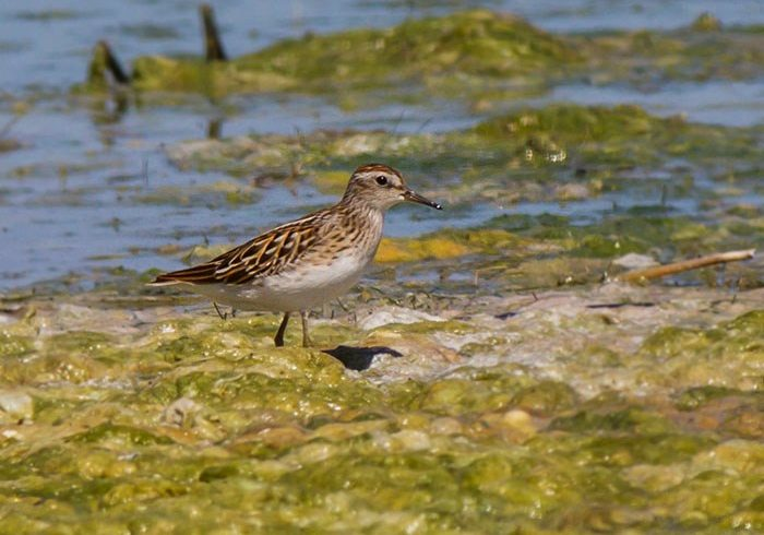 Lond-toed Stint_BM-EMBS1