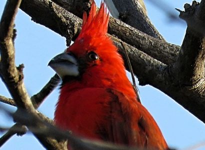 The-North-Coast-Vermilion-Cardinal