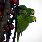 Red-bellied-Macaw