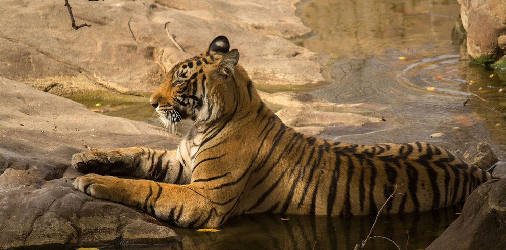 A Royal Bengal Tiger cooling off.