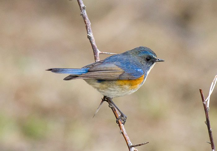 Orange-flanked Bluetail