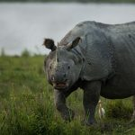 One-horned Rhino on an evening stroll in Kaziranga.