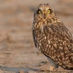 Short-eared Owl from Little Rann of Kutch
