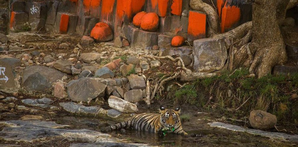 A Royal Bengal Tiger cooling off in a stream.