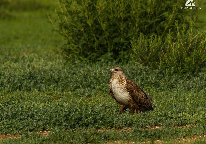 Upland Buzzard – © Mongolica Travel – 301115