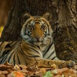 A Royal Bengal Tiger cub from Bandhavgarh.