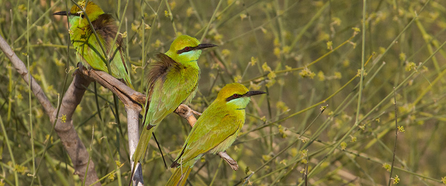Green Bee-eaters on India Birding Tour