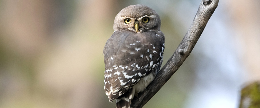 Rare Forest Owlet