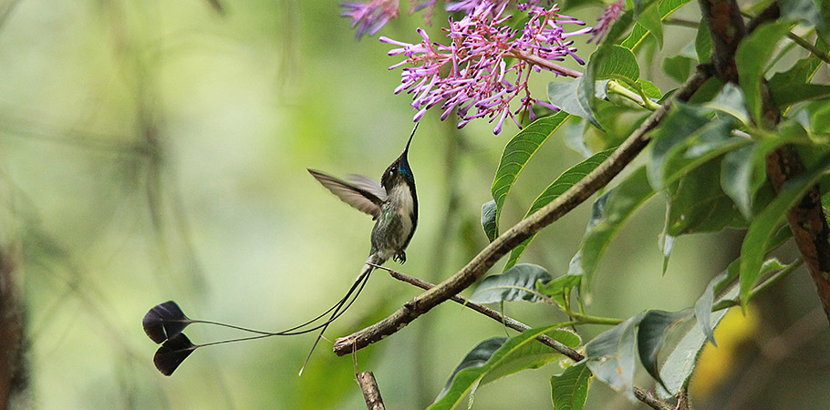 Marvelous Spatuletail