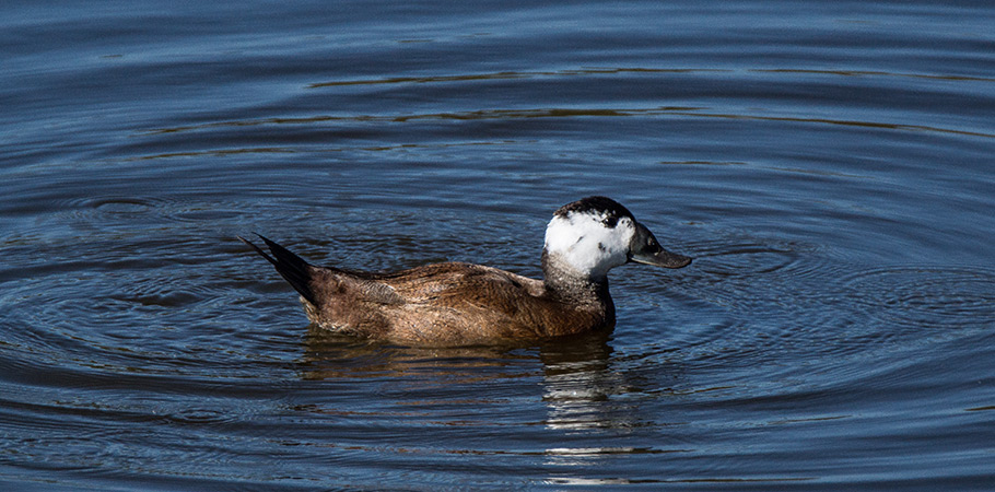 White-headed Duck in Spain