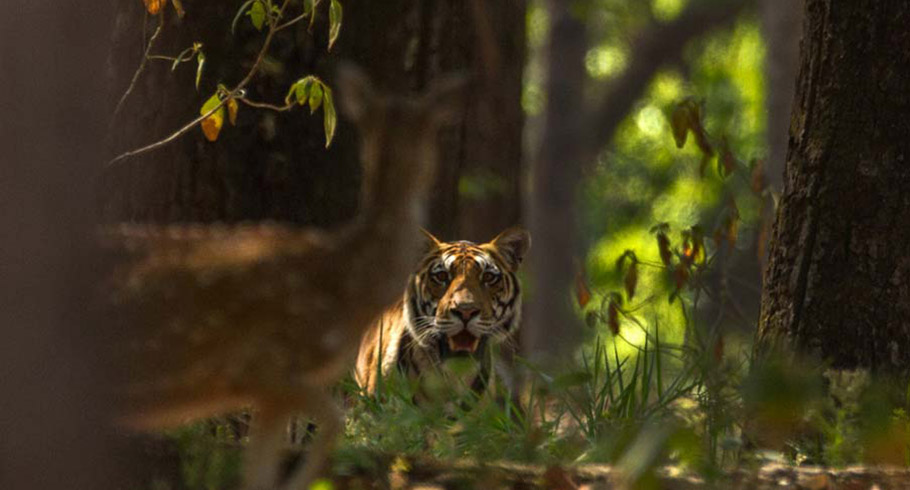 Tiger in forest in India