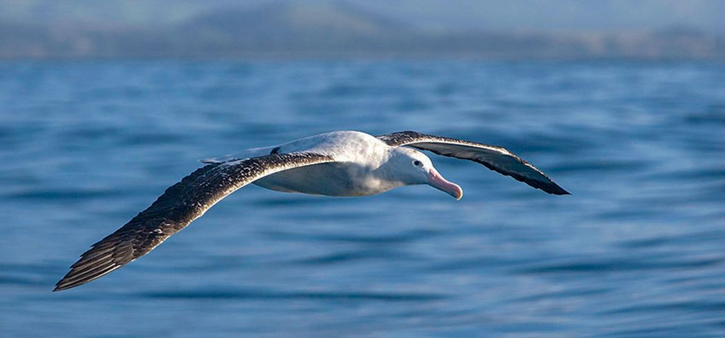 Albatross Encounter New Zealand