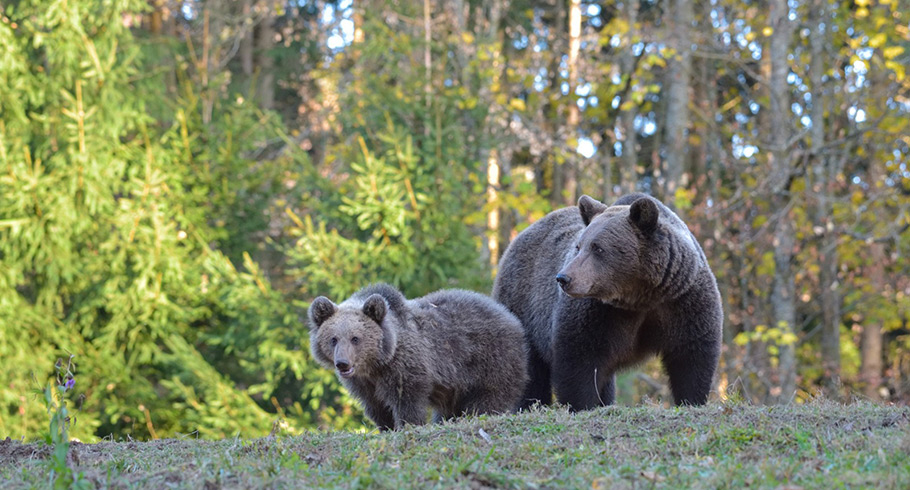 Wild Brown Bears in Romania