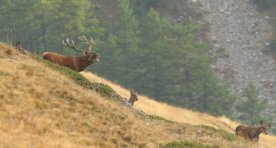 Red Deer Rut in France