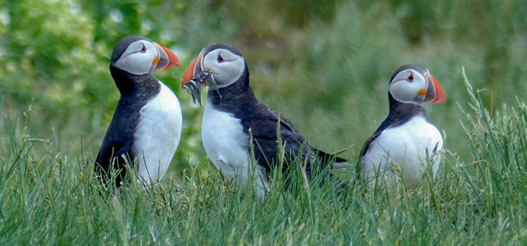 Wales Birdwatching Trip - Atlantic Puffins