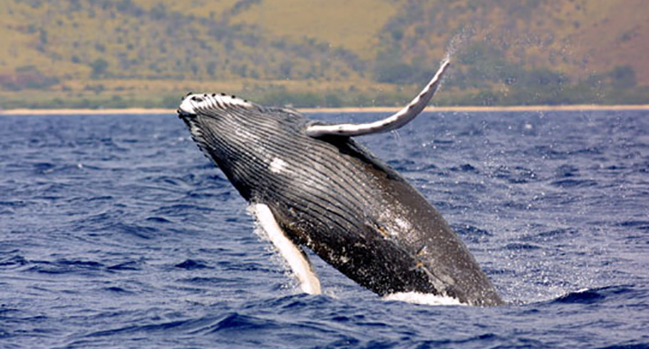Humpback whale Colombia
